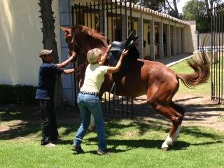 Horse reacting to being saddled