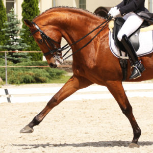 Hyperflexion at the extended trot.