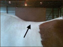 Swelling over the horse's spine.